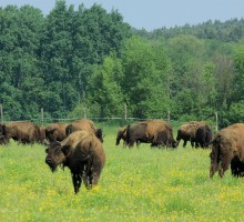 European bisons in Bialowieza National Park