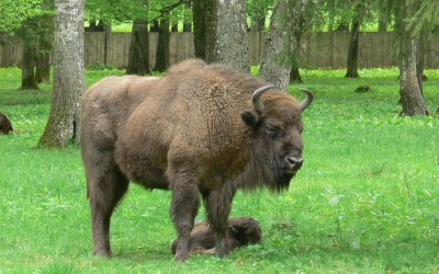 Bialowieza, European bisons show reserve