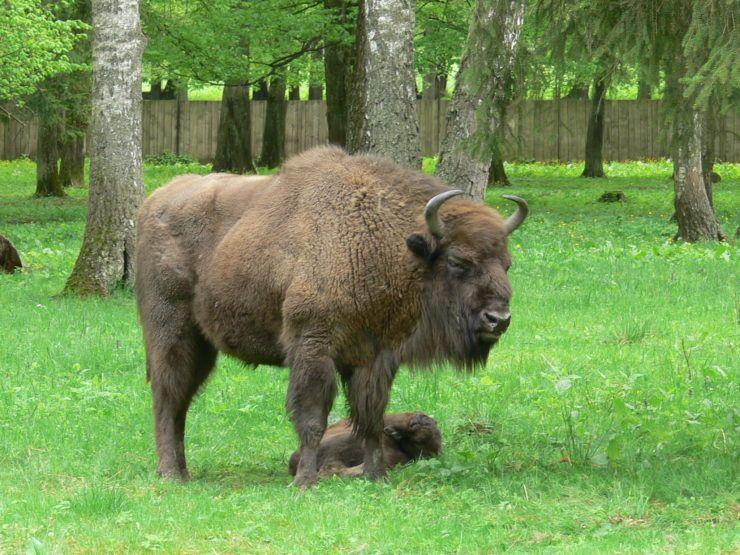 Bialowieza, European bisons show reserve